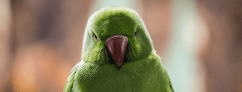 five quick facts about parakeets